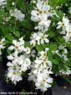 Exochorda x macrantha 'The Bridge' - hroznovec