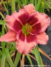 Hemerocallis 'Baby Red Eyes' - denivka