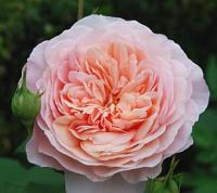 Rosa 'William Morris' - růže