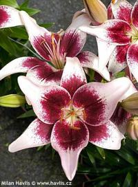 Lilium 'Strawberries and Cream' - lilie