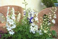 Delphinium 'Magic Vita 'Double White'' - ostrožka, stračka