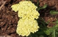 Achillea 'Light Yellow' - řebříček