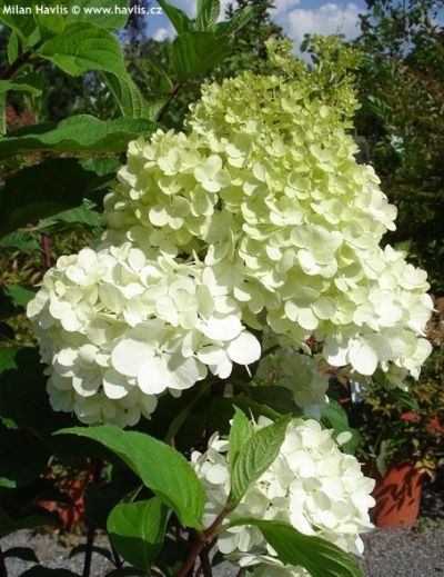 hydrangea paniculata vanille fraise. Black Bedroom Furniture Sets. Home Design Ideas