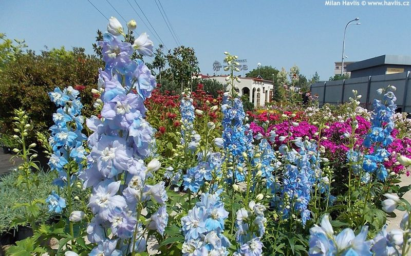 Delphinium Light Blue with White Bee - ostrožka, stračka: 10171