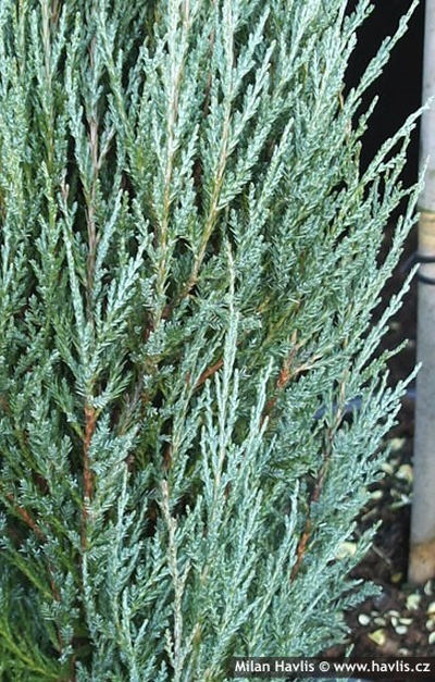 Juniperus scopulorum Blue Arrow - jalovec skalní: 10481