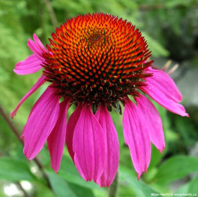 Echinacea 'Amazing Dream' - třapatka