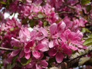 floribunda červeně růžová žlutozelená 5 8 převislé malus ...