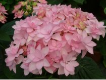 Hydrangea macrophylla Forever & Ever Double Pink