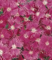 Dianthus - Bouquet Purple
