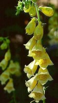 Yellow Foxglove Perennial 4 Plants - Digitalis