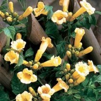 Yellow Trumpet Vines Plants