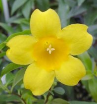 Gelsemium sempervirens - Yellow Jessamine, Carolina Yellow Jasmine