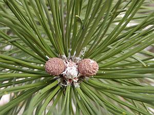 Pinus nigra borovice černá