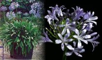 Agapanthus x hybrida - Blue Umbrella Lily of the Nile