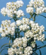 Anaphalis margaritacea - Pearly Everlasting