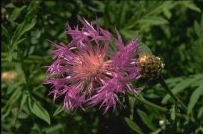 Centaurea dealbata - Persian Cornflower, Knapweed