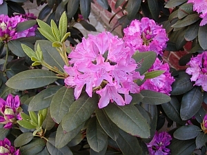 Rhododendron 'Catawbiense Boursault´