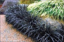 Ophiopogon planiscapus 'Nigrescens' - Black Mondo Grass