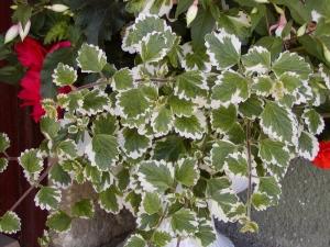 Molice rostlina