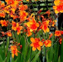 Crocosmia 'Bright Eyes' - crocosmia