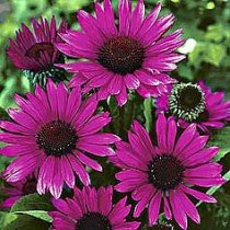 Echinacea 'Fatal Atraction' - Coneflower