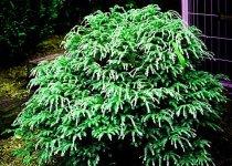 Tsuga Canadensis Dwarf Upright About Gardencom