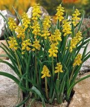 Muscari macrocarpum 'Golden Fragrance' - Golden Grape Hyacinth