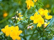 Lotus corniculatus 'Golden Bird' - Bird's Foot Trefoil