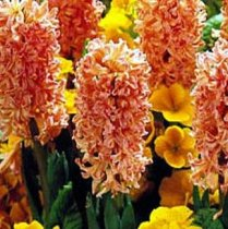 Hyacinthus 'Gypsy Queen' - Hyacinth
