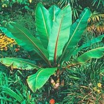 Ensete glaucum - Snow Banana