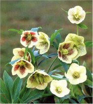 Helleborus orientalis 'Yellow Lady' - Lenten Rose