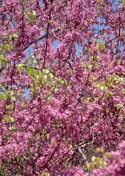 Cercis siliquastrum - Judas Tree