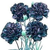Dianthus caryophyllus 'King of the Blacks' - Carnation