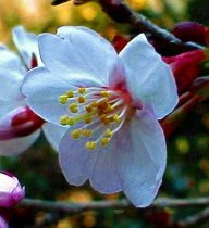 Prunus incisa 'Kojou No Mai' - Fuji Cherry