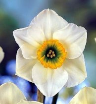 Narcissus 'Lancaster' - Daffodil