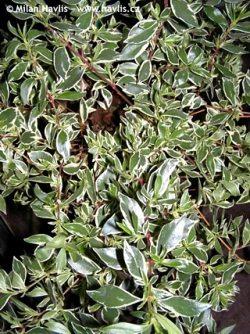 Abelia Confetti Conti About Gardencom