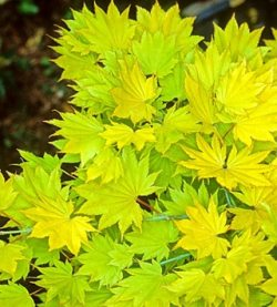 Acer shirasawanum 'Aureum' - Japanese maple