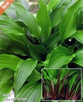Hosta 'Little Red Rooster' - Hosta