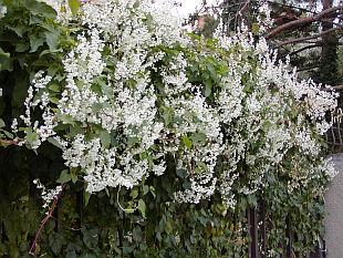 J`aimerais savoir le nom de cet arbuste (trouvé...BAMBOO DEL DIABLO) 2690-fallopia-baldschuanica-1