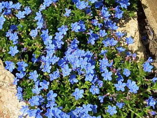 Lithodora diffusa 'Heavenly Blue' - kamejka
