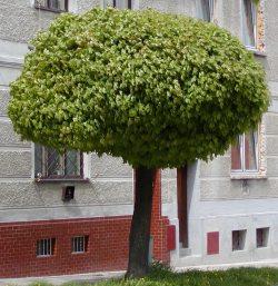 Acer platanoides globosum javor mléč