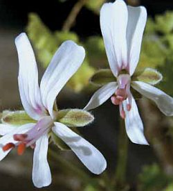 Pelargonium alternans - pelargonie