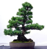 Pinus taeda - Loblolly Pine (Bonsai)