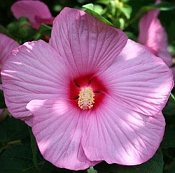 Hibiscus moscheutos 'Mauvelous'® - swamp mallow