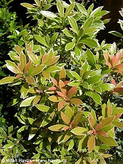 Pieris japonica 'Little Heath' - dwarf Japanese pieris