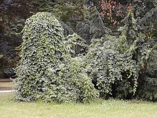 Popínavé rostliny stálezelené