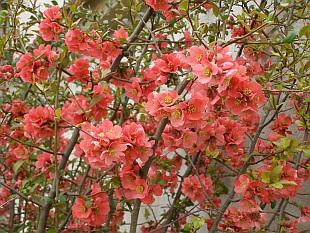 Na e chalupa cido chaenomeles japonica kdoulovec japonsk for Arbusti ornamentali