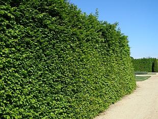 Stálezelené živé ploty