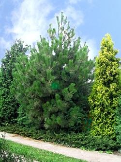 pinus nigra borovice černá synonymum pinus austriaca borovice jsou ...