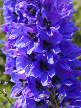 Rostliny: rostliny s modrými květy